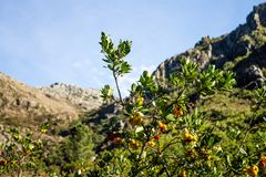 Arbutus with fruits. An Arbutus with ripe fruits in the National Park of Peneda-Geres, Portugal Stock Images
