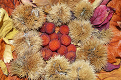 Arbutus from a group of nuts and dried leaves. Autumn Royalty Free Stock Image