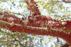 Arbutus red tree bark. In kziv river Royalty Free Stock Photos