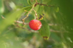 Arbutus. Strawberry tree evergreen with delicious sweetly sour fruit Royalty Free Stock Photo