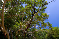 Arbutus tree. On a blue sky's background Royalty Free Stock Photo