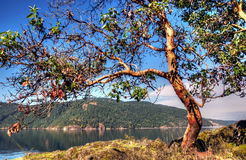 Arbutus tree. An arbutus tree hangs over the water Royalty Free Stock Image