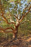 Arbutus tree. Colorful curved branches of arbutus tree Royalty Free Stock Image