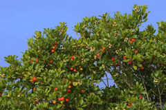 Arbutus tree. Arbutus unedo (called also strawberry tree) is an evergreen plant typical of the Mediterranean region. The fruit is a red aggregate drupe with a Royalty Free Stock Image