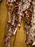 Arbutus tree bark. Peeling on tree on Vancouver Island Royalty Free Stock Photography