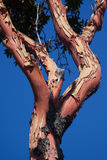 Arbutus Tree Stock Image