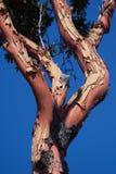 Arbutus Tree. Character arbutus tree, Victoria, BC, Canada Stock Image