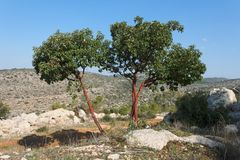 Arbutus tree on the hill. In Mediterranean landscape Stock Image