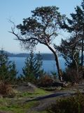 Arbutus Tree. A lone arbutus tree on a cliff overlooking the ocean Royalty Free Stock Photo