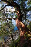 Arbutus tree near the shore of Portland Island. A large arbutus tree hangs out over a steep shore on Portland Island, Gulf Islands, BC. The dappled sun shines on Royalty Free Stock Photography