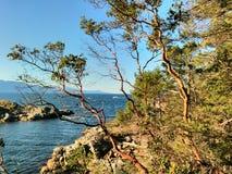 Arbutus Tree at Smuggler Cove Provincial Marine Park. Sunshine Coast, BC, Canada Stock Image
