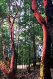 Arbutus trees along Trail through the trees, Spider Lake Provincial Park, BC. Spider Lake, British Columbia near Qualicum Beach on Vancouver Island on Canada`s Stock Image
