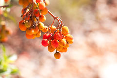 Arbutus unedo. Is an evergreen plant typical of the Mediterranean region Royalty Free Stock Photo