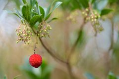 Arbutus unedo berry Stock Images
