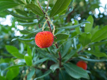 Arbutus Unedo. Detail of the fruit of Arbutus Unedo (Madroño in Spanish).  The fruit is mature when it is red Royalty Free Stock Photo