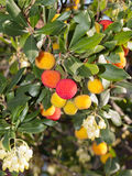 Arbutus Unedo. Royalty Free Stock Photos