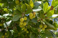 Arbutus unedo evergreen strawberry tree with yellow green unripened fruits, branches with green leaves. Arbutus unedo evergreen strawberry tree with yellow green stock images
