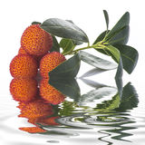 Arbutus unedo fruits isolated on a white background. Arbutus unedo fruits with flowers and leaves isolated on a white background and reflected on water Stock Photo