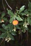 Arbutus unedo Niederlassung mit reifer Frucht stockfotografie