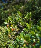 Arbutus Unedo tree and fruits stock image