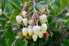 Arbutus unedo strawberry tree flowers Stock Photos