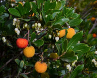 Arbutus unedo strawberry tree fruits, leaves and flowers. Fruits, leaves and flowers of the Strawberry tree Arbutus Unedo at a park in California, USA Royalty Free Stock Photo