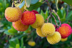 Arbutus unedo strawberry tree fruits. Yellow, orange and red fruits of the Strawberry tree Arbutus Unedo hanging from a tree at a park in California, USA Stock Image
