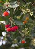 Arbutus Unedo tree. Arbutus Unedo or Strawberry tree detail Stock Image