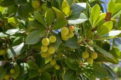 Arbutus unedo wiecznozielony truskawkowy drzewo z żółtej zieleni unripened owoc, gałąź z zielonymi liśćmi obrazy stock