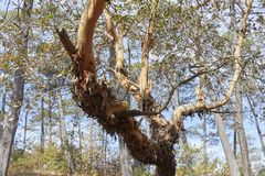 Arbutus xalapensis, das seine Barke verliert stockbild