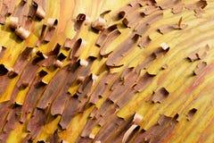 Arbutusträd med skalning av skället arkivbild