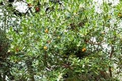 Arbutusunedo eller jordgubbeträd i den Lluc botaniska trädgården, Majorca arkivbilder