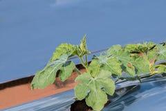 Arbuz roślina fotografia royalty free