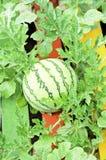 Arbuz w jarzynowym ogródzie Fotografia Stock