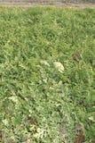 Arbuz w polach Zdjęcia Stock