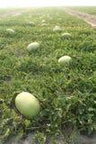 Arbuz w polach Fotografia Stock