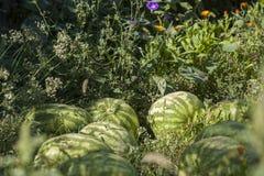 Arbuza Zieleni Gospodarstwa rolnego Grupa Fotografia Stock