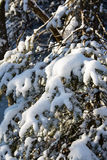 Arc de pin de Milou Photos stock