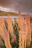 Arc-en-ciel et lupins alpestres Photo libre de droits