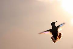 Arc-en-ciel Hummer en vol photos libres de droits