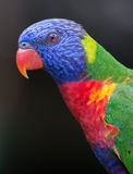 Arc-en-ciel Lorikeet Image stock