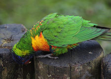 Arc-en-ciel Lorikeet Photos stock