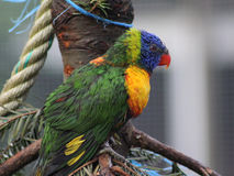 Arc-en-ciel Lorikeet Photographie stock