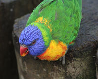 Arc-en-ciel Lorikeet Photo stock