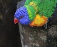 Arc-en-ciel Lorikeet Images libres de droits