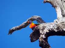Arc-en-ciel Lorikeet, Australie occidentale Photo libre de droits