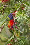 Arc-en-ciel Lorikeet dans le bottlebrush Image stock