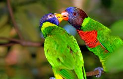 Arc-en-ciel Lorikeets Photos stock