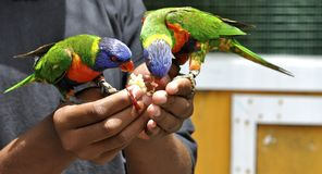 Arc-en-ciel Lorikeets Photographie stock libre de droits
