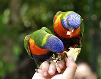 Arc-en-ciel Lorikeets Photo stock